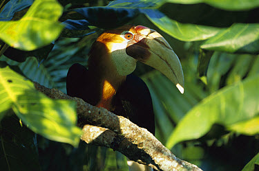 Blyth's Hornbill (Rhyticeros plicatus) male portrait amid rainforest leaves, endemic species, Papua New Guinea  -  Patricio Robles Gil/ Sierra Madr