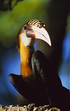 Blyth's Hornbill (Rhyticeros plicatus) male portrait, endemic species, Papua New Guinea  -  Patricio Robles Gil/ Sierra Madr