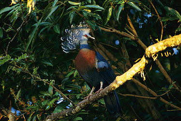 Victoria Crowned Pigeon (Goura victoria) perching in tree, Papua New Guinea  -  Patricio Robles Gil/ Sierra Madr