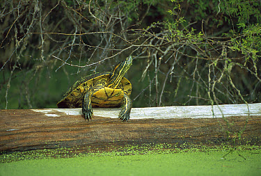 Red-eared Slider (Trachemys scripta elegans) turtle, basking on a log in the Corona River, Tamaulipas state, northeast Mexico  -  Patricio Robles Gil/ Sierra Madr