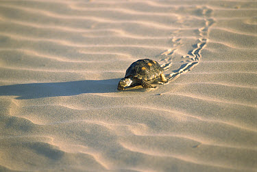 Texas Tortoise (Gopherus berlandieri) leaving tracks in rippled sand, Laguna Madre, Tamaulipas, Mexico  -  Patricio Robles Gil/ Sierra Madr