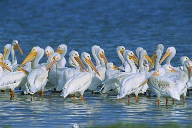 American White Pelican (Pelecanus erythrorhynchos) flock in coastal lagoon, northern Laguna Madre, Tamaulipas, Mexico  -  Patricio Robles Gil/ Sierra Madr
