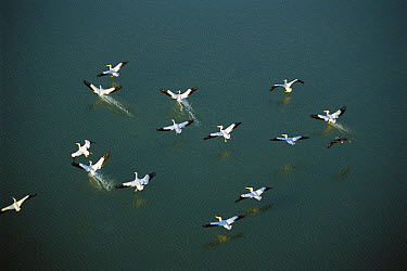 American White Pelican (Pelecanus erythrorhynchos) flock landing in coastal lagoon, northern Laguna Madre, Tamaulipas, Mexico  -  Patricio Robles Gil/ Sierra Madr