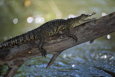 Morelet's Crocodile (Crocodylus moreletii) endangered, resting on log over the Corona River, Tamaulipas, Mexico  -  Patricio Robles Gil/ Sierra Madr