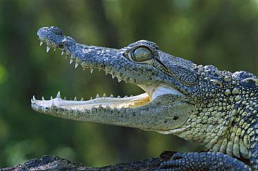 Morelet's Crocodile (Crocodylus moreletii) endangered, juvenile portrait near Ciudad Victoria, Tamaulipas, Mexico  -  Patricio Robles Gil/ Sierra Madr