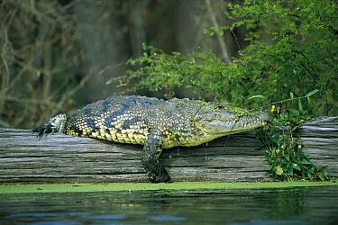 Morelet's Crocodile (Crocodylus moreletii) resting on log, Corona River, Tamaulipas, Mexico  -  Patricio Robles Gil/ Sierra Madr