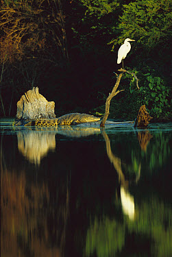 Morelet's Crocodile (Crocodylus moreletii) endangered, resting at the base of a snag with Egret perched atop along the Corona River, Tamaulipas, Mexico  -  Patricio Robles Gil/ Sierra Madr