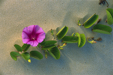 Morning Glory (Ipomoea sp) flowering on coastal sand dunes in Laguna Madre, Tamaulipas, Mexico  -  Patricio Robles Gil/ Sierra Madr