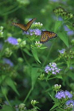 Tropic Queen (Danaus eresimus) butterfly pair feeding on flowers, Tamaulipas, Mexico  -  Patricio Robles Gil/ Sierra Madr
