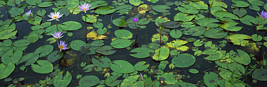 Semi-aquatic communities of Water Lilies in a wetland near the Tamesi River, south Tamaulipas, Mexico  -  Patricio Robles Gil/ Sierra Madr