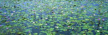 Semi-aquatic communities of Water Lilies in a wetland near the Tamesi River, south Tamaulipas, Mexico  -  Patricio Robles Gil/ Sierra Madr