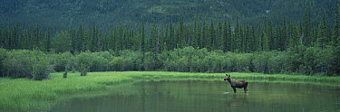 Moose (Alces alces) alert female standing in Muncho Lake, northern Canadian Rockies, Canada  -  Patricio Robles Gil/ Sierra Madr