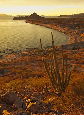 Organ Pipe Cactus (Stenocereus thurberi) at sunset, upper Gulf of California along the coast of Sonora State, Mexico  -  Patricio Robles Gil/ Sierra Madr