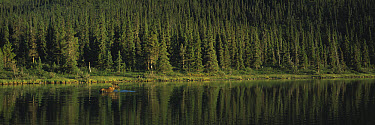 Moose (Alces alces) bull feeding in a lake in the northern Canadian Rockies, Canada  -  Patricio Robles Gil/ Sierra Madr