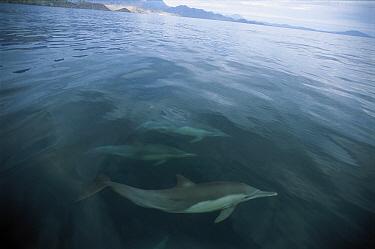 Short-beaked Common Dolphin (Delphinus delphis delphis) pod swimming near surface, Gulf of California, Mexico  -  Patricio Robles Gil/ Sierra Madr