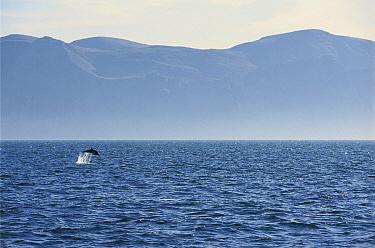 Short-beaked Common Dolphin (Delphinus delphis delphis) leaping, Gulf of California, Mexico  -  Patricio Robles Gil/ Sierra Madr
