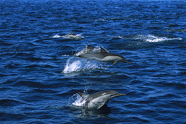 Short-beaked Common Dolphin (Delphinus delphis delphis) pod swimming at the surface, Gulf of California, Mexico  -  Patricio Robles Gil/ Sierra Madr