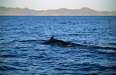 Bryde's Whale (Balaenoptera edeni) surfacing in the Gulf of California, Mexico  -  Patricio Robles Gil/ Sierra Madr