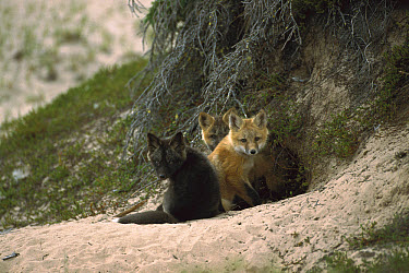 Red Fox (Vulpes vulpes) three young in different color phases at den entrance, Northwest Territories, Canada  -  Patricio Robles Gil/ Sierra Madr