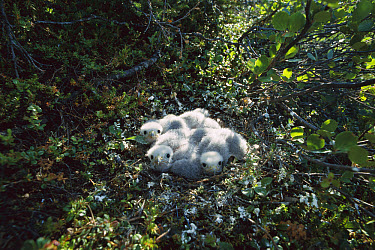 Merlin (Falco columbarius) three downy chicks in nest, Northwest Territories, Canada  -  Patricio Robles Gil/ Sierra Madr