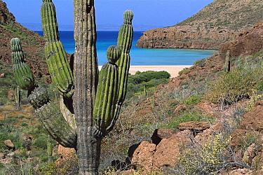 Cardon (Pachycereus pringlei) cactus, Esp?ritu Santo Island, Gulf of California, Mexico  -  Patricio Robles Gil/ Sierra Madr