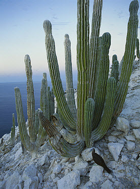 Cardon (Pachycereus pringlei) cactus, San Pedro M?rtir Island, Gulf of California, Mexico  -  Patricio Robles Gil/ Sierra Madr