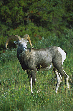 Stone Sheep (Ovis dalli stonei) alert male in northern Rocky Mountain meadow, Canada  -  Patricio Robles Gil/ Sierra Madr