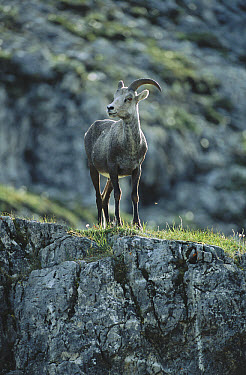 Stone Sheep (Ovis dalli stonei) female, northern Rocky Mountains, Canada  -  Patricio Robles Gil/ Sierra Madr