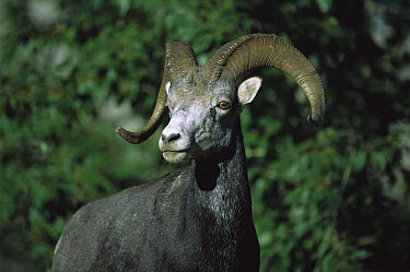 Stone Sheep (Ovis dalli stonei) male, northern Rocky Mountains, Canada  -  Patricio Robles Gil/ Sierra Madr