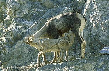 Stone Sheep (Ovis dalli stonei) female nursing her lamb, northern Rocky Mountains, Canada  -  Patricio Robles Gil/ Sierra Madr