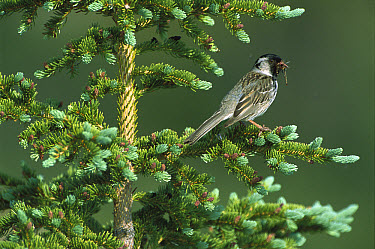Harris's Sparrow (Zonotrichia querula) perched in a Conifer tree with an insect it has caught, Northwest Territories, Canada  -  Patricio Robles Gil/ Sierra Madr