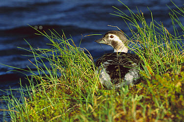 Long-tailed Duck (Clangula hyemalis) female resting among grasses on shore, Northwest Territories, Canada  -  Patricio Robles Gil/ Sierra Madr