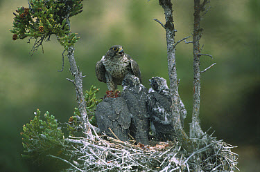 Gyrfalcon (Falco rusticolus) adult in dark phase on nest with chicks, Northwest Territories, Canada  -  Patricio Robles Gil/ Sierra Madr