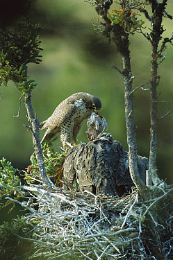 Gyrfalcon (Falco rusticolus) adult in dark phase on nest feeding chicks, Northwest Territories, Canada  -  Patricio Robles Gil/ Sierra Madr