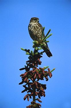 Merlin (Falco columbarius) adult perched atop a conifer tree, Northwest Territories, Canada  -  Patricio Robles Gil/ Sierra Madr