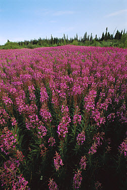 Fireweed (Chamerion angustifolium), Kluane National Park, Canada  -  Patricio Robles Gil/ Sierra Madr