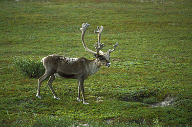 Caribou (Rangifer tarandus) standing on tundra, Northwest Territories, Canada  -  Patricio Robles Gil/ Sierra Madr