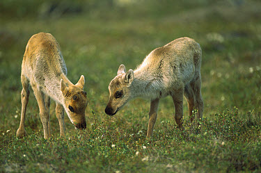 Caribou (Rangifer tarandus) two calves grazing, Northwest Territories, Canada  -  Patricio Robles Gil/ Sierra Madr