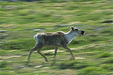 Caribou (Rangifer tarandus) adult female running across tundra, Northwest Territories, Canada  -  Patricio Robles Gil/ Sierra Madr