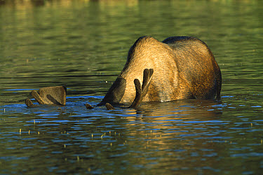 Moose (Alces alces) bull grazing in an alpine lake, northern Canadian Rockies, Canada  -  Patricio Robles Gil/ Sierra Madr