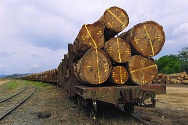 Tropical wood logs, Gabon, western Africa  -  Patricio Robles Gil/ Sierra Madr