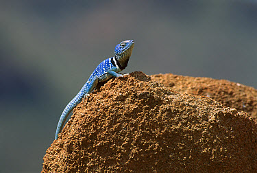 Collared Lizard (Crotaphytus collaris) sunning on a rock, Johnson Peak, Sonora coast, Mexico  -  Patricio Robles Gil/ Sierra Madr