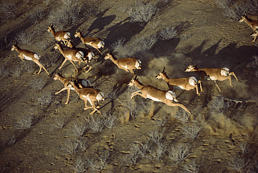 Pronghorn Antelope (Antilocapra americana) aerial view of herd running through the Vizcaino Desert, Baja California, Mexico  -  Patricio Robles Gil/ Sierra Madr