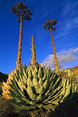 Coastal Agave (Agave shawii) blooming, Cedros Island, Pacific coast, Baja California, Mexico  -  Patricio Robles Gil/ Sierra Madr