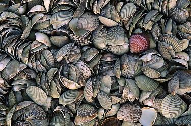 Detail of a large pile of seashells, Laguna San Ignacio, El Vizcaino Biosphere Reserve, Baja California, Mexico  -  Patricio Robles Gil/ Sierra Madr