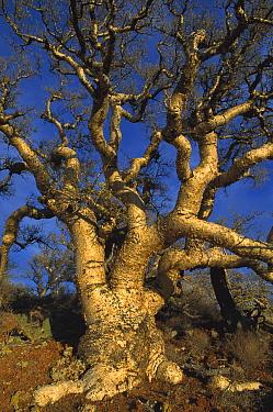 Elephant Tree (Bursera microphylla) on hillside, Las V?rgenes Volcano, El Vizca?no Biosphere Reserve, Baja California, Mexico  -  Patricio Robles Gil/ Sierra Madr