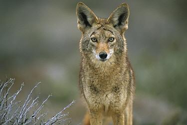 Coyote (Canis latrans) alert adult in the Vizca?no Desert, Baja California, Mexico  -  Patricio Robles Gil/ Sierra Madr