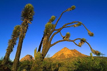 Yucca (Yucca sp), Santa Clara Mountains, El Vizcaino Biosphere Reserve, Baja California, Mexico  -  Patricio Robles Gil/ Sierra Madr