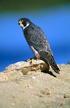 Peregrine Falcon (Falco peregrinus) adult perched on a rock, Laguna Ojo De Liebre, El Vizcaino Biosphere Reserve, Baja California, Mexico  -  Patricio Robles Gil/ Sierra Madr