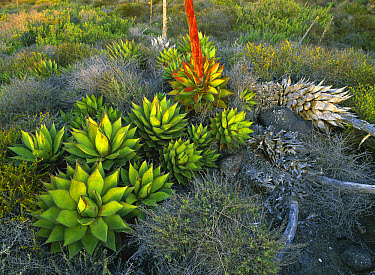 Agave (Agave sp) plants San Benito Island, Mexico  -  Patricio Robles Gil/ Sierra Madr